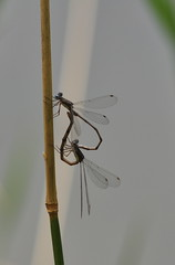 I heart you! (dbifulco) Tags: heart mating damselfly damsel sandbarpark matingcirlce