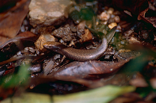 Rainforest Sunskink (Lampropholis coggeri)