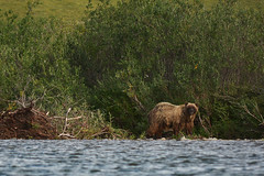 Grizzly Bear on the Anaktuvuk River, North Slope, Alaska (Paxson Woelber) Tags: sky expedition water river photography creativecommons paxson northslope brownbear grizzlybear anaktuvuk outdoorphotography northslopealaska wetbear arcticphotography anaktuvukriver alaskaexpedition alaskabear alaskabears alaskaphotography woelber paxsonwoelber arguk expeditionarguk creativecommonsphotography brooksrangefoothills anaktuvukrivergrizzlies