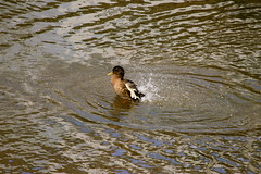 Duck !! (M7CCF STYLE! 2014) Tags: water canon eos duck splash 650d m7ccf