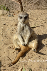 Thank God its Friday #TGIF (blende28_com) Tags: meerkat friday tgif erdmnnchen