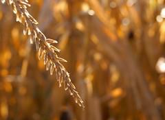 in the cornfield (LaLa83) Tags: autumn ohio brown fall field corn cornfield october dof bokeh farm sony tan cornstalks alpha a230 fairfieldcounty 2013 stoutsville
