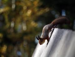squirrel (Gesha M) Tags: autumn red canon squirrel 5d zuiko zuiko13528