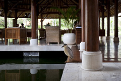 Tropical Bird at the Lounge (A. Wee) Tags: bali indonesia hotel resort grandhyatt