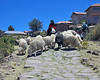 Herding Sheep, Taquile Island, Lake Titicaca (Mike Colyer) Tags: uros reeds island boat cathedral floating taquile puno yavari