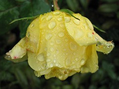 After the rain (Katie-Rose) Tags: uk flower rose yellow raindrops worcestershire katierose explored canondigitalixus95is 113picturesin2013 15dropletsordew