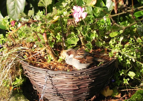 male House Sparrow having a nice rest in a flower basket!