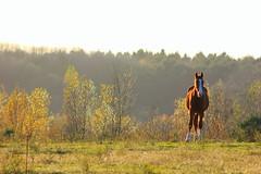 Horse at sunset (Rik Krist) Tags: sunset horse forest zonsondergang woods farm landgraaf bos weiland paard brunssum geilenkirchen