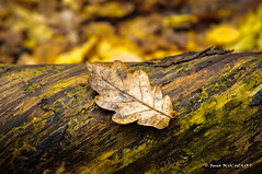 Feuille de chêne / Oak leaf (patoche21) Tags: nikon d300 50mm france bourgogne burgundy 21 côtedor fauverney nature forêt forest feuille leaf automne autumn fall patrickbouchenard potd:country=fr