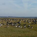 Large Brant flock thumbnail