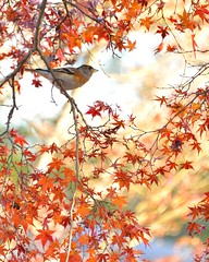 (myu-myu) Tags: bird nature japan nikon autum autumncolors japanesemaple  d800  wildbird  brambling fringillamontifringilla   vision:text=0559