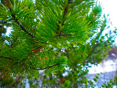 Grein (lafur Ingi) Tags: tree green read rautt grnt grnn fromyoutous