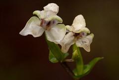 Disperis lindleyana (zimbart) Tags: africa flowers orchidaceae zimbabwe nyanga troutbeck disperis silvermist disperislindleyana