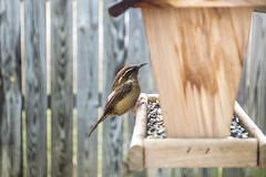 Jan 5 2013 (DeanQ.) Tags: birds nikon day wildlife watching photoblog rainy chickadee carolina wren reach titmouse tufted d3200