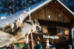 Flying Dog (_flowtation) Tags: light dog sunlight mountain snow mountains alps forest austria tirol woods nikon florian alpen soelden tyrol snowballs winterfun khtai playinginthesnow slden d4 oetztal oetz leist flowtation nikond4 feldringalm 70200mmvrii florianleist florianleistphotography florianleistfotografie flowtationde florianleistde weloveslden