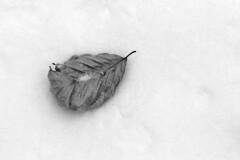 Buchenblatt auf Schnee (only black and white) Tags: schnee winter blackandwhite bw snow sw monochrom schwarzweis beechleaf buchenblatt
