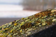 Lichen on grave stone / lav p gravsten, Endre kyrka (Bochum1805) Tags: lichen lav flavoparmeliacaperata pvxt getlav