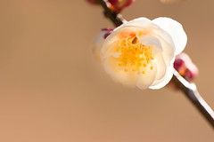 DSC_6836.jpg  (m3411) Tags: flowers winter   japaneseapricot 105mm d600 umeblossoms originalphotography