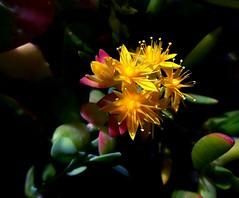 Give A Flower, Get A Smile (fotomie2009) Tags: flower succulent flora fiore sedum succulenta palmeri rubromarginata rubromarginatum