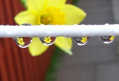 Daffy drips! (cocopie) Tags: waterdrops daffodils