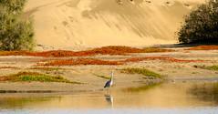 Garza real con en la charca con dunas de fondo  Ardea cinerea