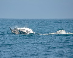 Baby Grey Whale apparently fighting back during an Orca attack (Rick Hagerty) Tags: mammal grey cow marine dolphin gray mother killer whale whales orca calf mammals fins hagerty cetaceans orcinus mysticeti cetacea odontoceti mysticetes odontocetes mysticete odontocete