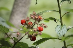 "Wineberries • <a style=""font-size:0.8em;"" href=""http://www.flickr.com/photos/92887964@N02/14028953389/"" target=""_blank"">View on Flickr</a>"