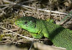 western green lizard, Lacerta bilineata (willjatkins) Tags: greenlizard britishwildlife boscombe nonnativespecies alienspecies britishreptiles lacertabilineata dorsetwildlife britishlizards dorsetreptiles dorsetlizards bournemouthwildlife