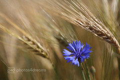 blue bloomer (photos4dreams) Tags: outintheheat09052014p4d photos4dreams p4d photos4dreamz photos photo nature feld corn korn kornfeld flower flowers kornblume blau blue bokeh bleu