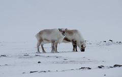 Svalbard reindeer IMG_0104 (grebberg) Tags: reindeer mammal svalbard spitsbergen colesbukta rangifertarandus rangifer rangifertarandusplatyrhynchus svalbardreindeer
