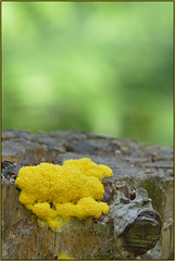 Yellow Fungus (Full Moon Images) Tags: nature yellow wildlife sandy bedfordshire reserve lodge fungi fungus thelodge rspb