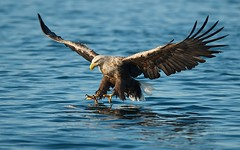 White-tailed Eagle (Haliaeetus albicilla) (PeterQQ2009) Tags: birds norway seaeagle whitetailedeagle haliaeetusalbicilla