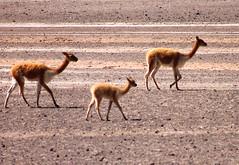 Una familia viaja unida. Vicuas en Arequipa (Hilda Velez) Tags: per desierto vicua camlido