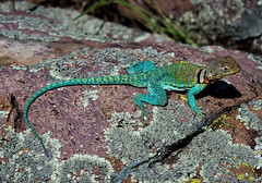 Eastern Collared Lizard (Crotaphytus collaris) (2ndPeter) Tags: lizard missouri eastern glade collared collaris crotaphytus