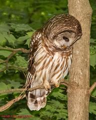 Barred Owl (mikerhicks) Tags: usa bird geotagged unitedstates nashville hiking tennessee wildlife owl barredowl warnerparks canon7d nashvillehikingmeetup vaughnsgap sigma18250mmf3563dcmacrooshsm geo:lat=3607222300 geo:lon=8688346400