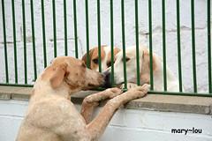 DSC_2017 (mary~lou) Tags: dogs three nikon hounds behindbars maryfletcher tintsandtones 15challengeswinner mary~lou