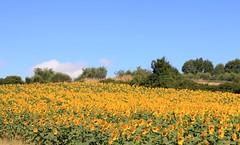 On This Morning's Walk (Vecchia Casa Umbria) Tags: flowers italy yellow landscape italia july hills sunflowers girasole umbria luglio vecchiacasa greenumbria ruralumbria