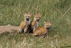 Three of a kind (Hank Halsey) Tags: h5ds2568cr2 fox yellowstone yellowstonenationalpark hankhalseyphotographyllc