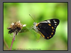 Butterflies-Vanuatu (Douglas Dew butterflies) Tags: caper white belenois java