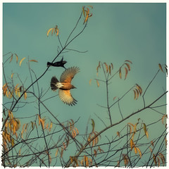 Fly away with me (jeanne.marie.) Tags: americanrobinturdusmigratorius aqua autumn birds color copper fall flight flying golden sky 100xthe2016edition 100x2016 image99100