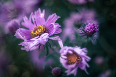 Nothing's gonna change my world (hploeckl) Tags: pentacon diaplan bokeh fall automn purple nikon d750