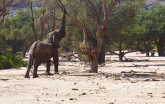 Namibia's Beauty:  20. Desert Adapted Elephant in the Huab Riverbed ... view in large (ronmcbride66) Tags: namibia namibiasbeauty huab huabriver dryriverbed drought elephant desertadaptedelephant ellie foliage trees sand damaraland doronawasarea campkipwearea exoticimage vividstriking beautiesbeasts