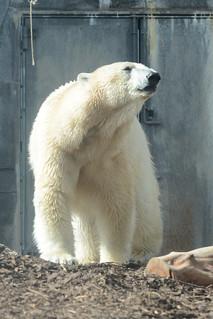 Eisbärin Noel im Zoologisk Have i København