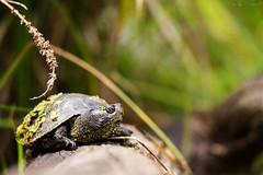 European pond turtle (Cloudtail the Snow Leopard) Tags: europische sumpfschildkrte wildpark bad mergentheim tier animal reptil schildkrte european pond turtle terrapin emys orbicularis