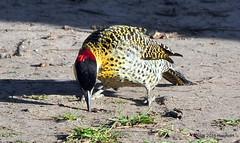 DSC_0066 (rachidH) Tags: birds oiseaux woodpecker pic greenbarredwoodpecker colaptesmelanochloros picvertetnoir carpinterorealnorteo bosquesdepalermo palermo woods buenosaires argentina rachidh nature