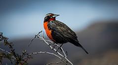 Loica común (Sturnella loyca) (DanilodeCastro) Tags: loica elcalafate loicacomun aves