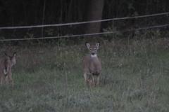_MG_1917 (thinktank8326) Tags: deer whitetaileddeer fawn doe babyanimal babydeer