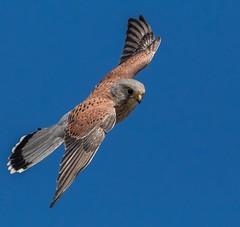 Common kestrel - Falco tinnunculus (Paul M Loader) Tags: canon eos 5d mkiv mk4 mark iv 4 common kestrel falco tinnunculus widewater lancing west sussex bird prey bop sigma 150600 sport