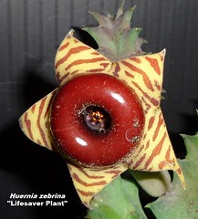"Huernia zebrina Aka ""Life Saver Plant"" (Pic #1 of a one gallon stock plant in bloom @ Epicacti Nursery) (mattslandscape) Tags: huernia zebrina life saver plant lifesaver carrion stapelia succulent succulents succulenta plants flower bloom blooms"