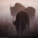 Bison in fog